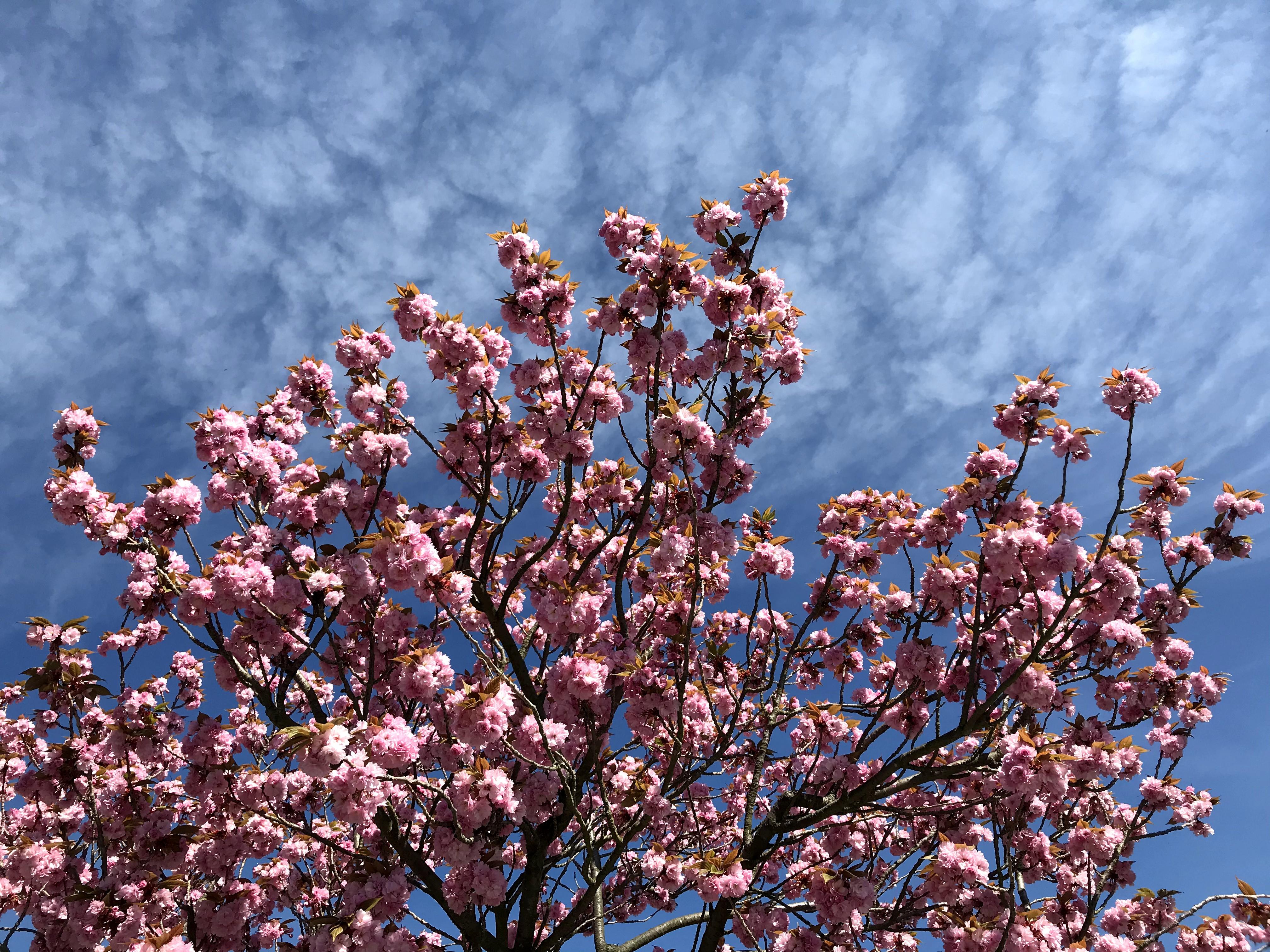 Rosa Kirschblüten und blauer Himmel