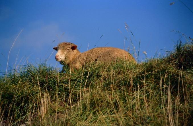 Schaf auf Wiese